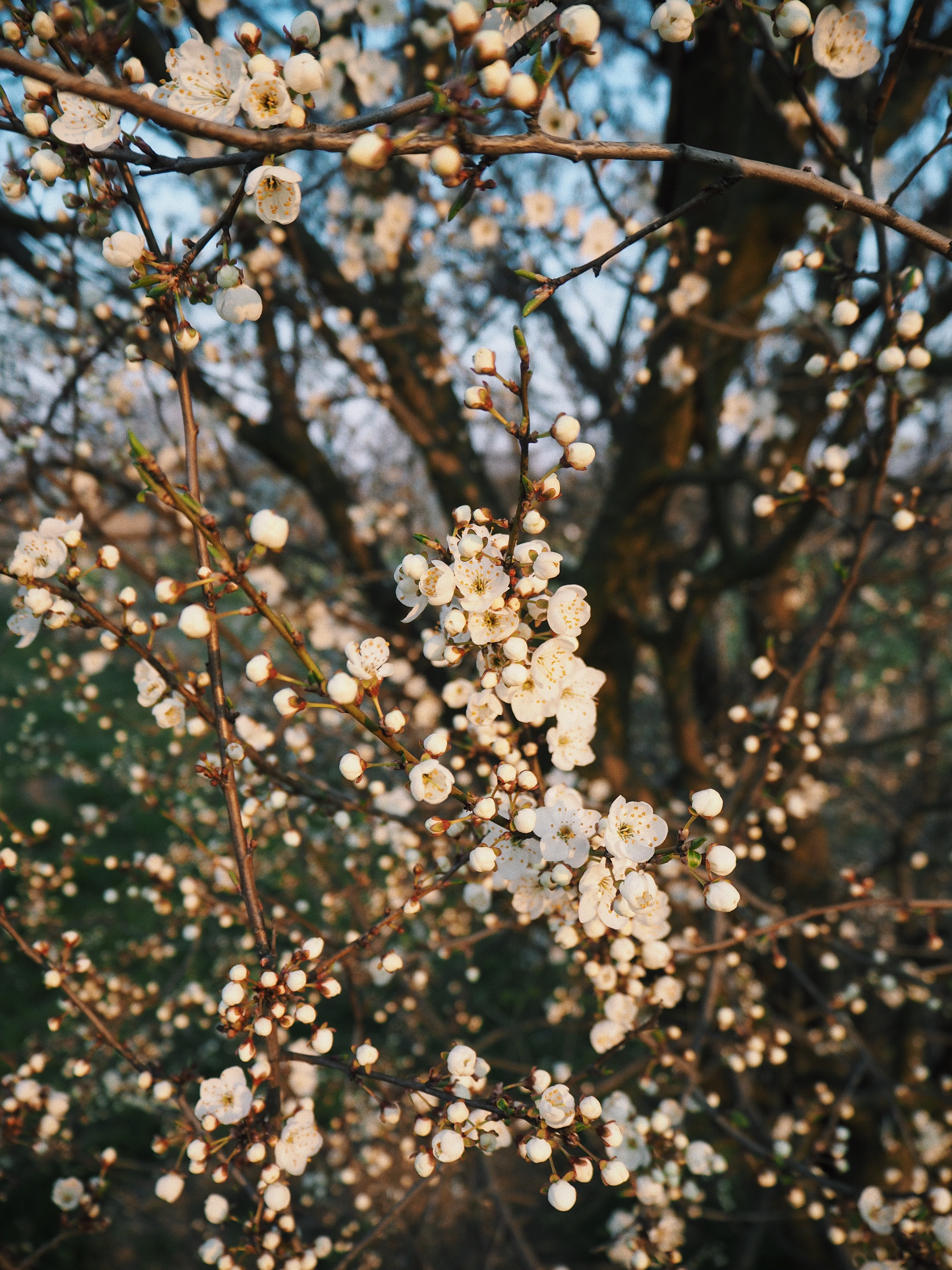 Mogłabym godzinami wtulać twarz w kwiaty na owocowych drzewach. Jedna z ulubionych chwil w roku!