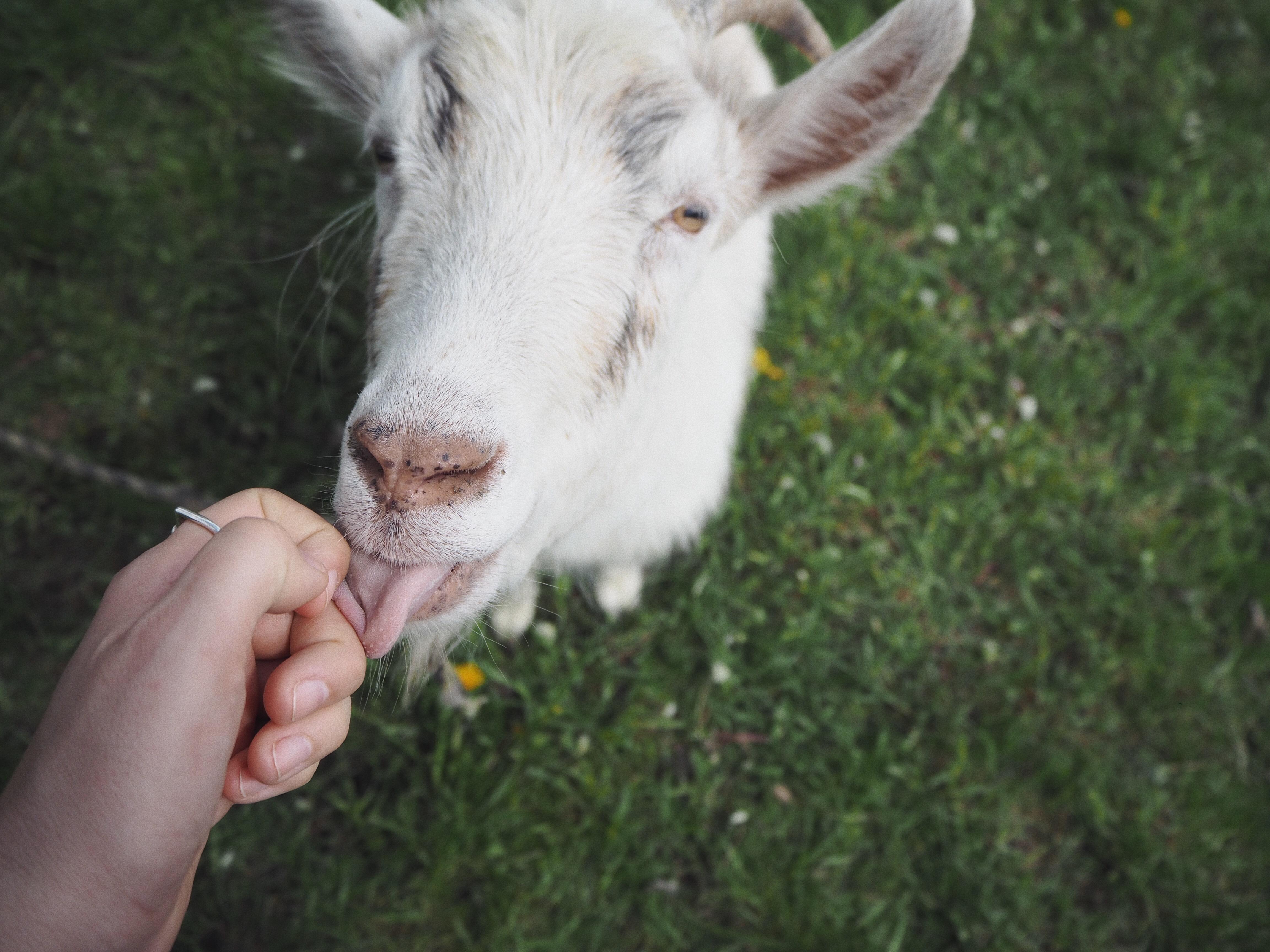 Z błysków: zaprzyjaźniłam się z kozą!