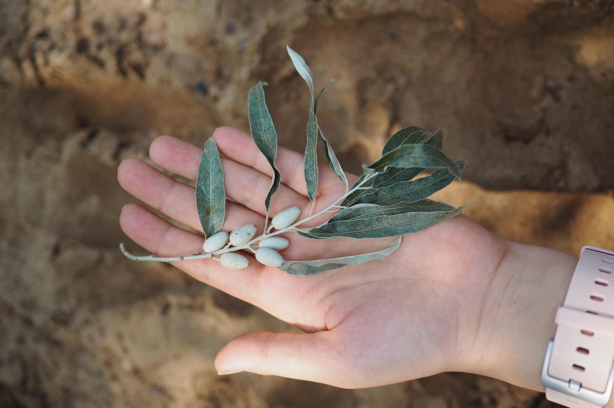 oliwnik wąskolistny